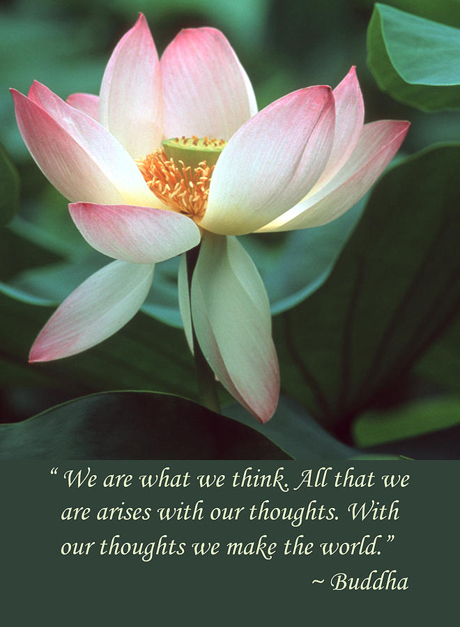 lotus-flower-buddha-quote-chris-scroggins
