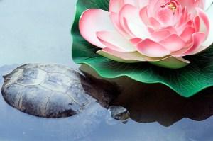 Turtle Lotus